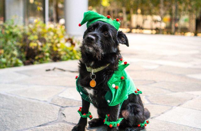 Dog in green elf costume